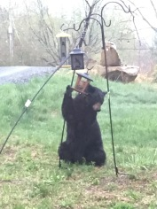 Mama Bear visited the feeders this week.