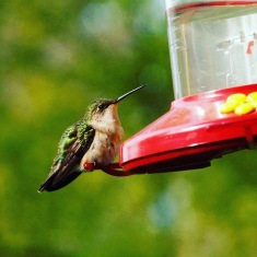 Female Hummingbird resting on the feeder