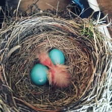 A newly hatched Robin in our tool shed
