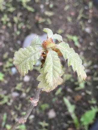 The growing bud of an Oak Tree.