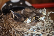 The robin's are growing fast!