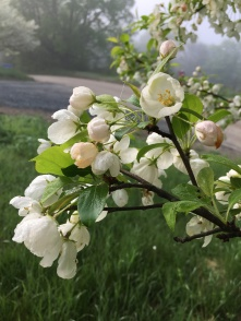 Early morning fog on the crabapple tree